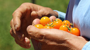 Hugo from Munak Ranch holding local Sungold tomatoes